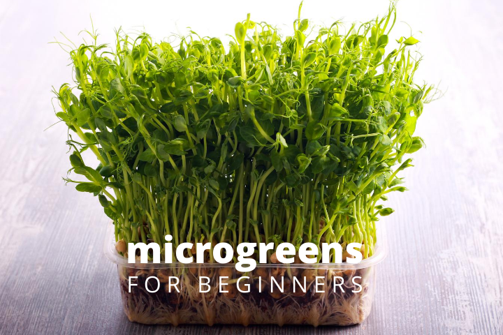 Image of microgreens in a clear plastic container.